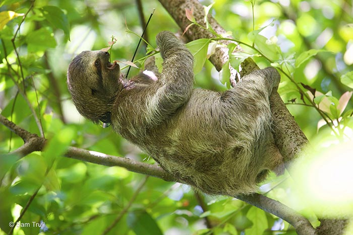 Monster the Sloth Released to the Wild