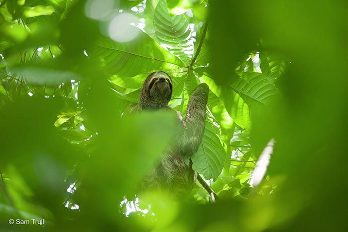 Monster the Costa Rican Sloth - Returned to Wild