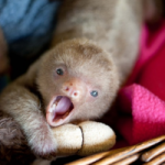 Please Save a Sloth in Costa Rica!