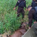 Brave Costa Rican Police Rescue Young Foal from the Jaws of Crocodiles