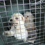 costa-rica-poodle-mill-rescue-270x224