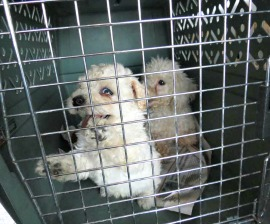 First Puppy Mill CLOSED DOWN since Costa Rica´s New Breeding Regulations Law