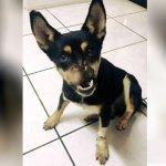 10852063_dog-who-lost-his-nose-in-machete-attack_df2ea527_m