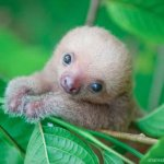 baby-sloth-release-sam-trull