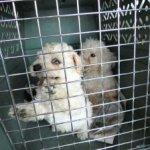 costa-rica-poodle-mill-rescue-270x224